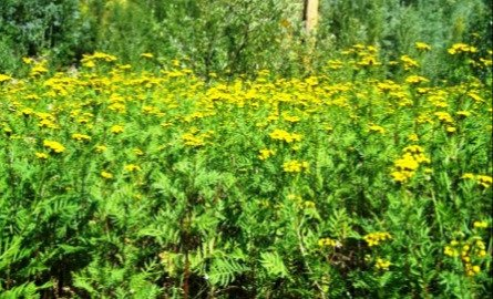 Common Tansy infestation